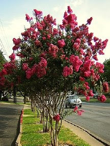 crapemyrtletuscarora2